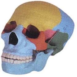Human Skull Coloured Model
