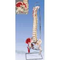 Human Vertebral Column And Pelvis