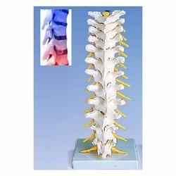 Human Thoracic Spinal Column