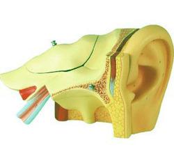 Human Ear