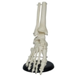 Foot Joint Life Size